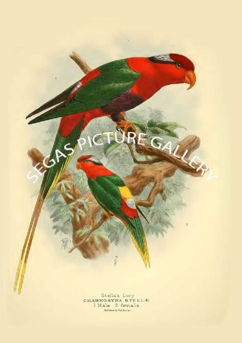 Fine art print of the Stella's Lory - Oreopsittacus stellce by St George Mivart (1896)